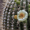 Single saguaro bloom