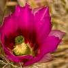 Small hedgehog cactus bloom