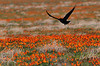 Visitor fighting the 30 mph winds at Antelope Valley Poppy Preserve