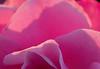 Mom's Roses