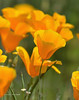 CAL  GOLDEN POPPIES  01723