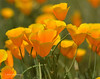 CAL  GOLDEN POPPIES  01420