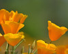 CAL  GOLDEN POPPIES  01319