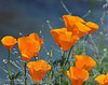 CAL  GOLDEN POPPIES  02808