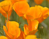 CAL  GOLDEN POPPIES  01815