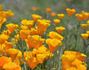 CAL  GOLDEN POPPIES  01916