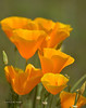 CAL  GOLDEN POPPIES  01622