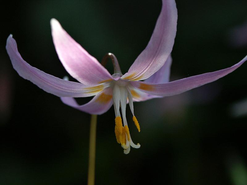 Coast Fawn Lily - Erythronium revolutum