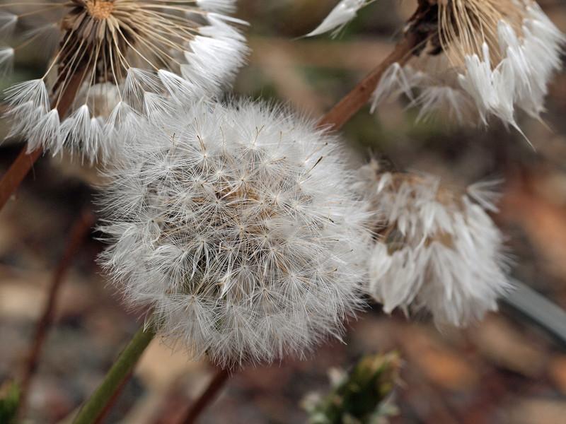 Giant Mountain Dandelion - Agoseris Grandiflora native to Santa Cruz Isalnd
