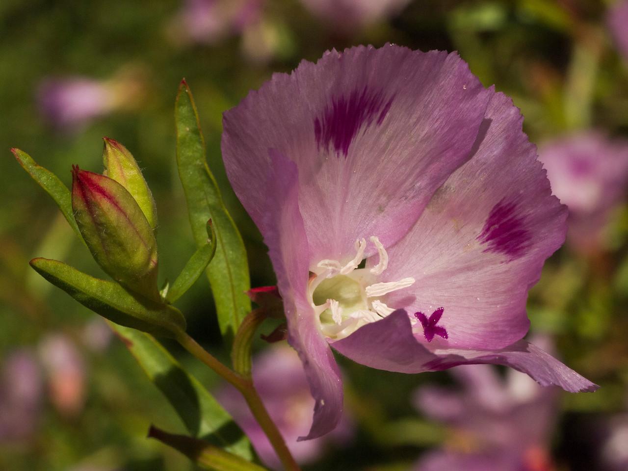 Foothill Clarkia - Clarkia Williamsonii onagraceae