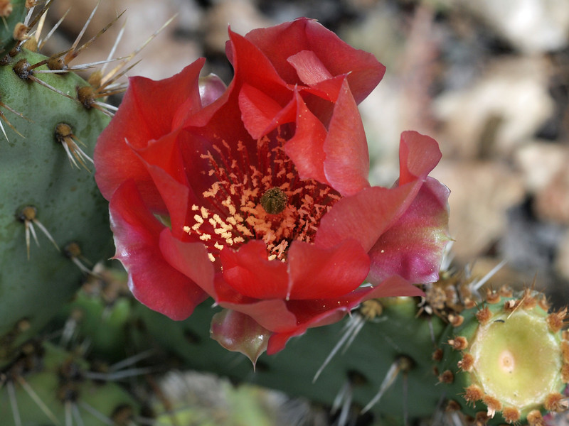 Englemann Prickly Pear Cactus 1