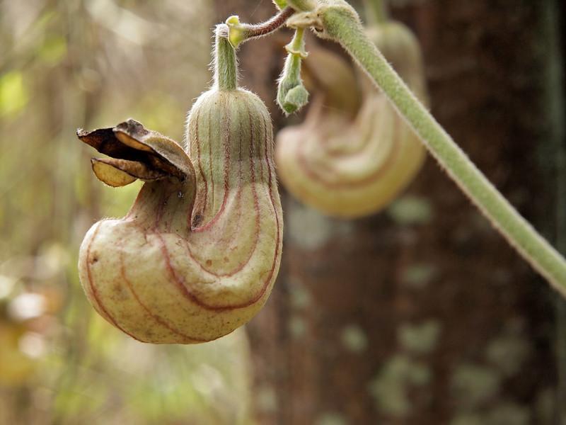 Dutchman's Pipe - Aristolochia californica