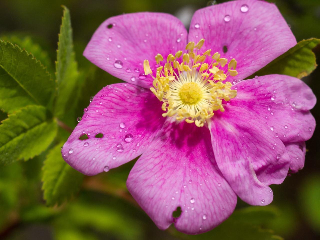 California Wild Rose - Rosa Californica