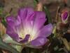 Bitter Root - Lewisia Rediviva Portulacaceae