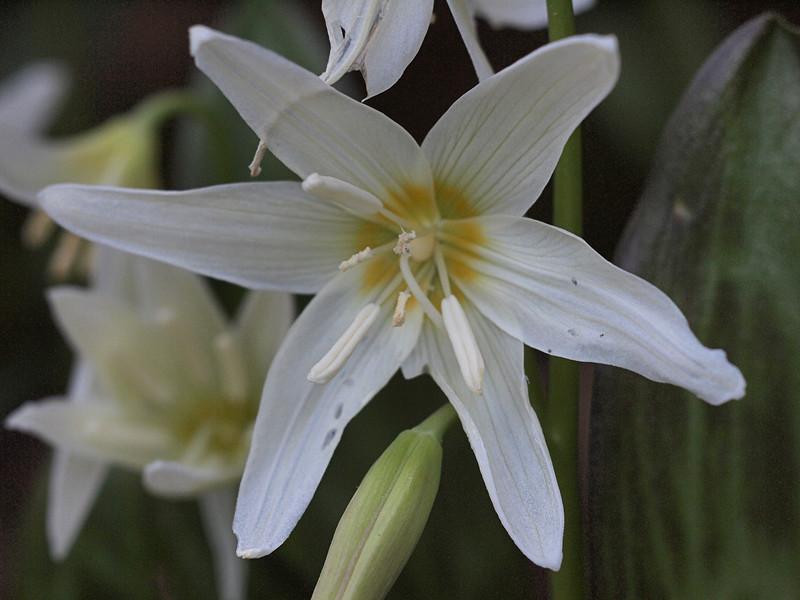 California Fawn Lily - Erythronium Californicum Liliaceae