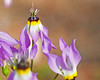 Island Shooting Star - Doddecatheon clevelandii