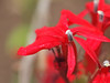 Cardinal Flower - Lobelia Cardinales  in Fall