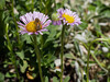Seaside Daisy - Erigeron Glaucus