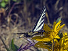Western Tiger Swallowtail on Mt Diablo Sunflower near Vollmer Peak