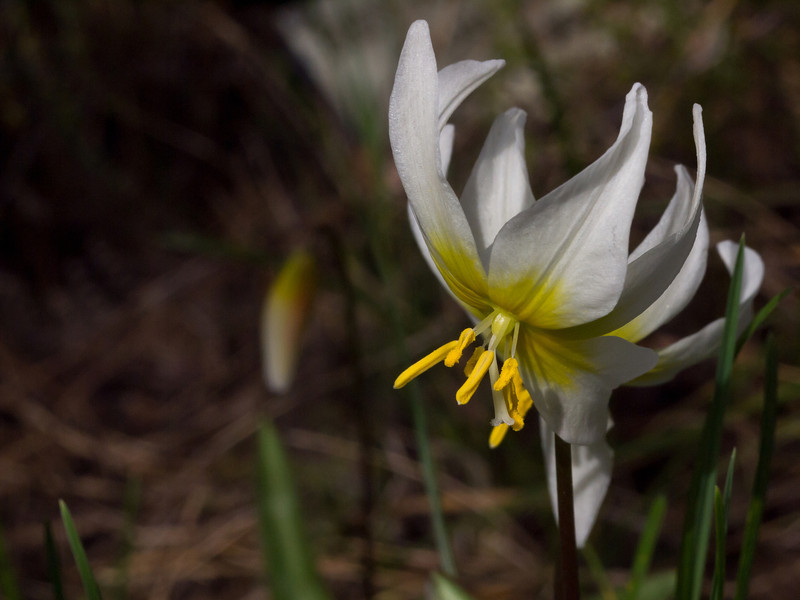 St Helena Fawn Lily - Erythronium helenae