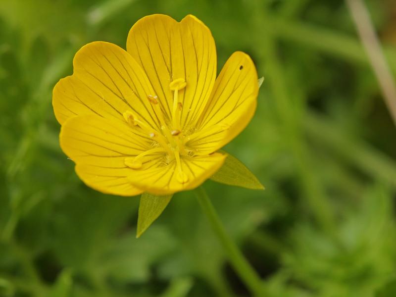 Yellow Meadow-Foam