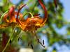 Leopard Lily - Lilium Pardalinum liliaceae