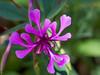 Elegan Clarkia - Clarkia Unguiculata