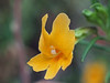 Santa Lucia Monkeyflower