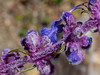 Woolly Blue Curls - Trichostema Lanatum
