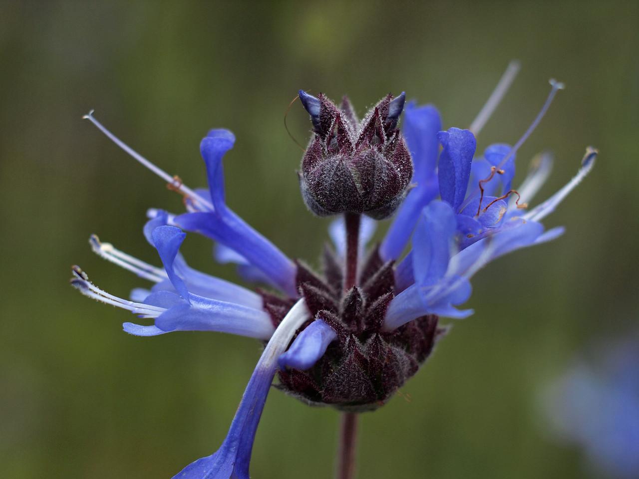 Blue wildflower in Tilden Park Botanical Garden -