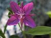 Dwarf Fireweed - Chamerion Latifolium onagraceae