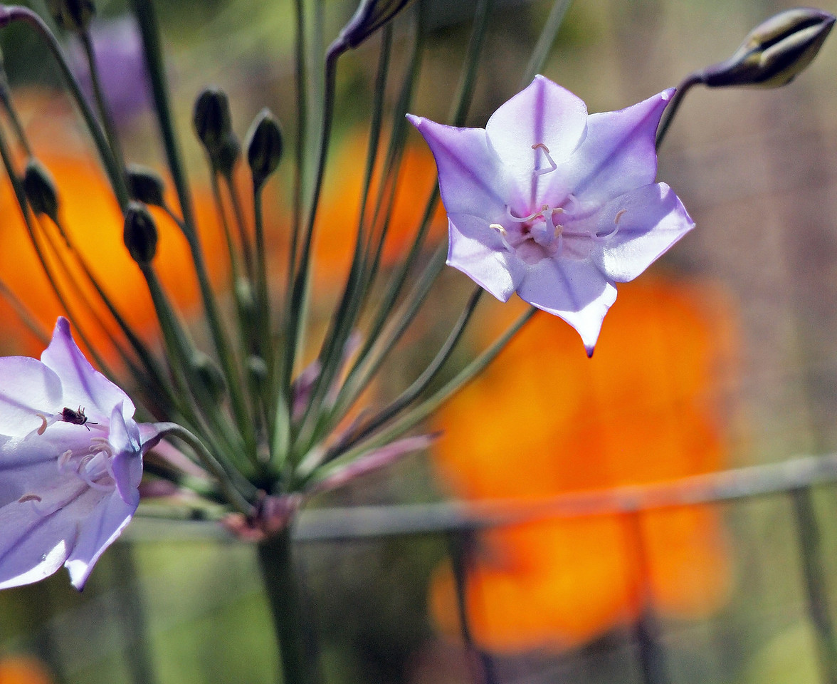 Tassel-Flowered Brickelbush