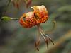 Southern Humboldt Lily
