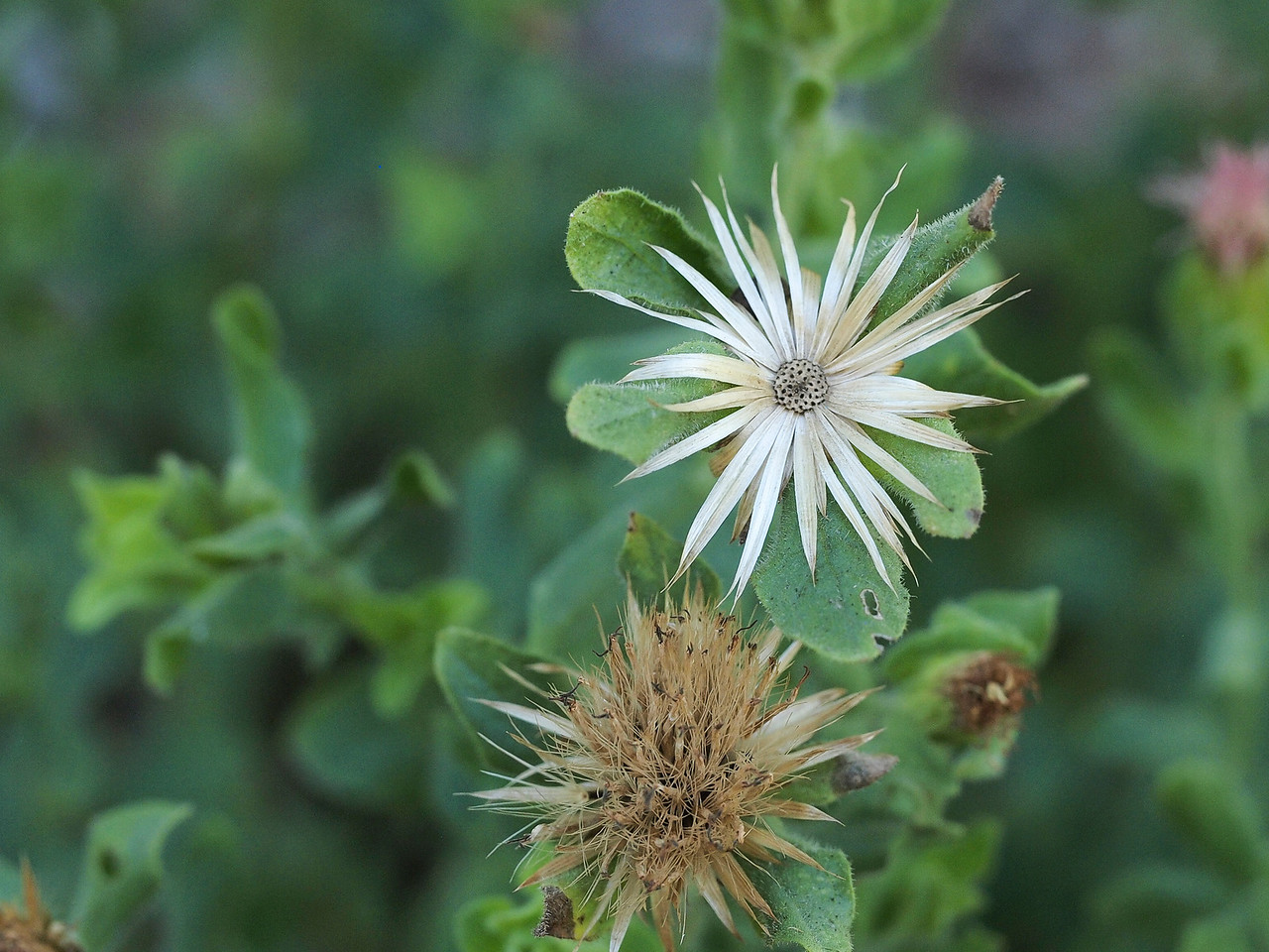 Greene's Brickellbush - Brickellia Greenei asteraceae