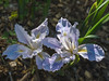 Munz's Iris - Iris Munzii