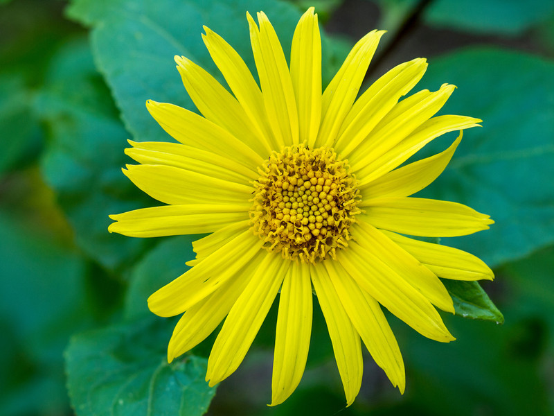 Canyon Sunflower - Venegasia Carpesioides