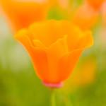 California-Poppy-Blur-Macro-Close-up-Green-Bokeh_D8X7502-Jharrison