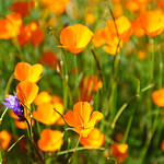 California Poppies in Spring.  #3821