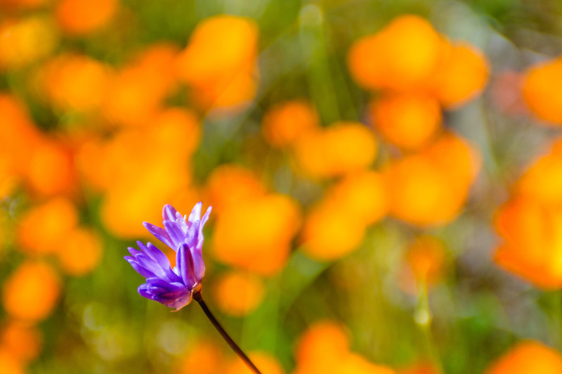 """California Poppies along Hite Canyon Cover"" near Yosemite National Park  #3823"