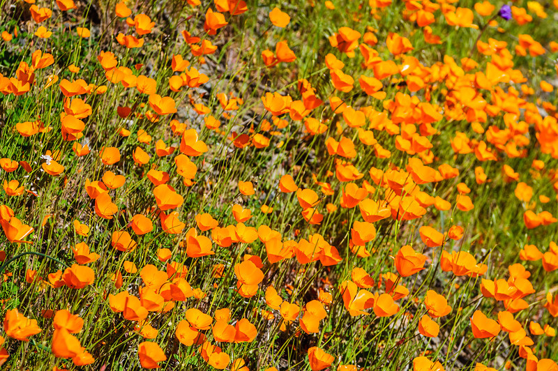 """California Poppies along Hite Canyon Cover"" near Yosemite National Park #3820"