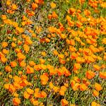 """California Poppies along Hite Canyon Cover"" near Yosemite National Park #3820"