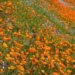 """California Poppies in Yosemite"" #3802"