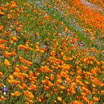 """California Poppies in Yosemite"" #3802"
