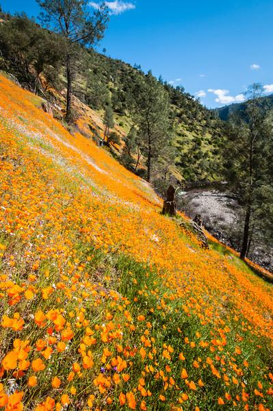 """California Poppies along Hite Canyon Cover"" near Yosemite National Park #3798"