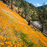 """California Poppies along Hite Canyon Cover"" near Yosemite National Park #3798"