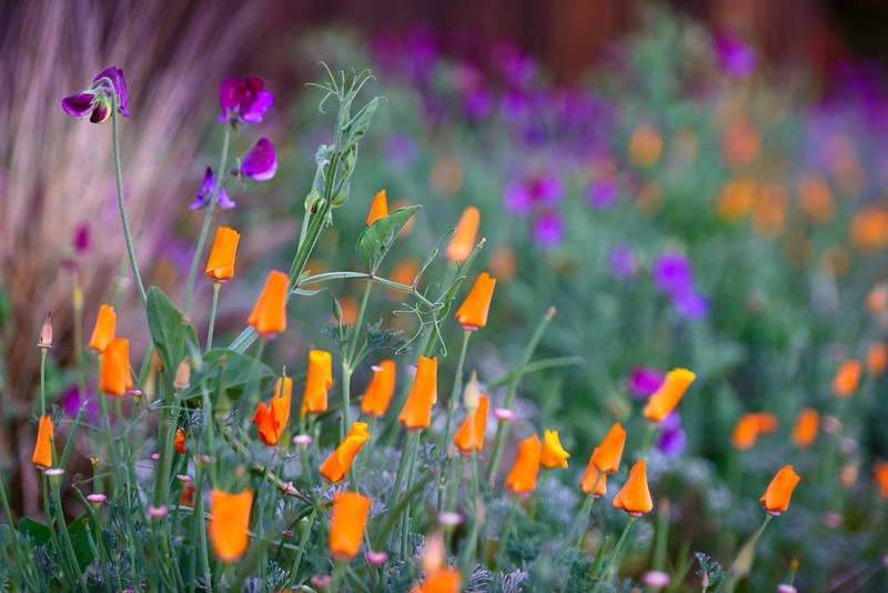 California Poppies and Purple Sweet Peas in Spring.  Captured with the Nikon D800