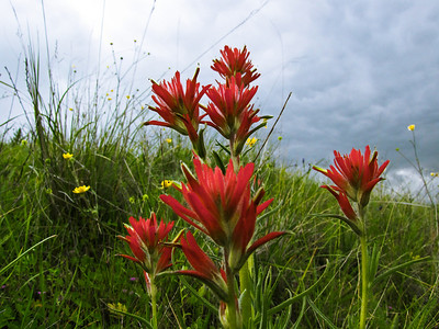 58 OG - Indian Paintbrush