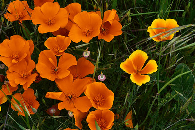 134 - the ubiquitous California poppy.  Pop  Pop Poppies.... the more the merrier they seem to say.