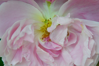 Peony - faded,but still grasping for the future, I feel a kinship with this sister.