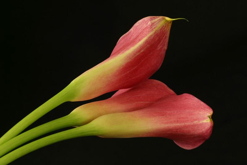 Flower 033h (Daisy)